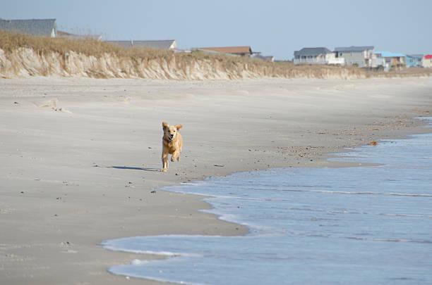 Golden Retriever Puppy Running on the Beach