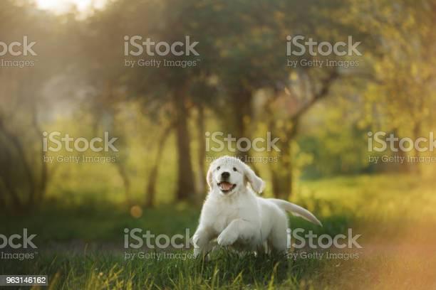 Golden retriever puppy runs on grass and plays picture id963146162?b=1&k=6&m=963146162&s=612x612&h=efyfols3v4u3ec5qnadzbyc3sjtqdyrscnt2ny43bcq=