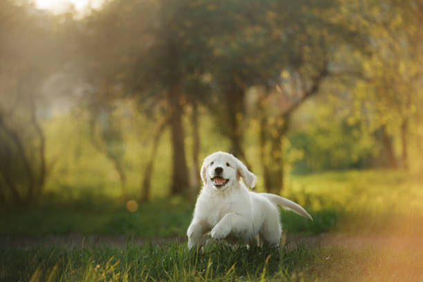 Golden Retriever puppy runs on grass and plays. Golden Retriever puppy runs on grass and plays. Pet in the park in summer retriever stock pictures, royalty-free photos & images