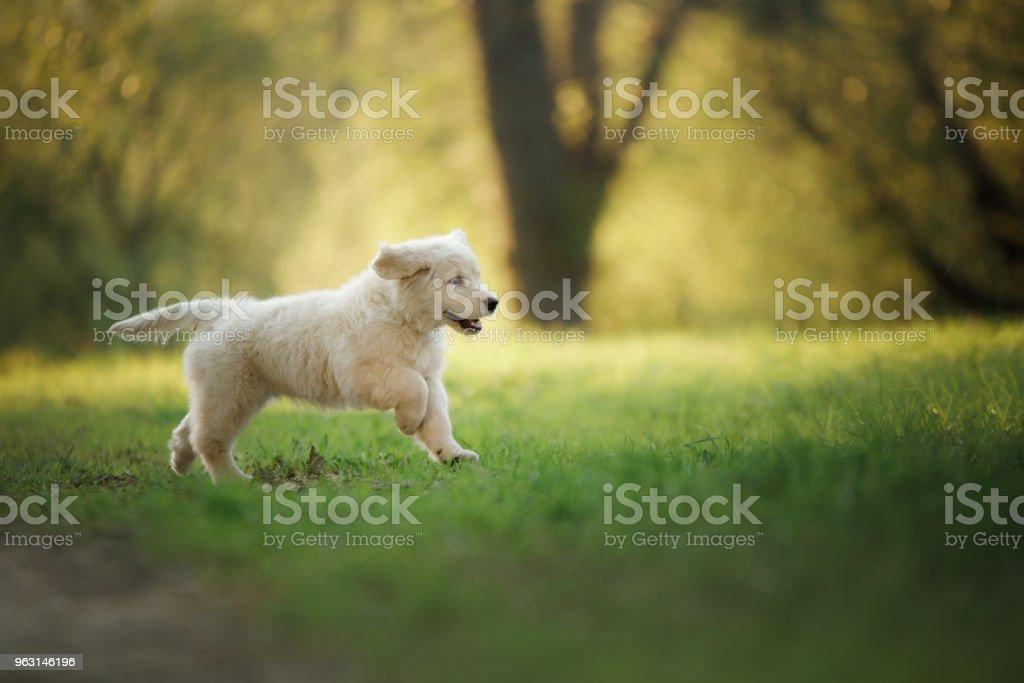 Golden Retriever valp körs på gräs och spelar. - Royaltyfri Djur Bildbanksbilder