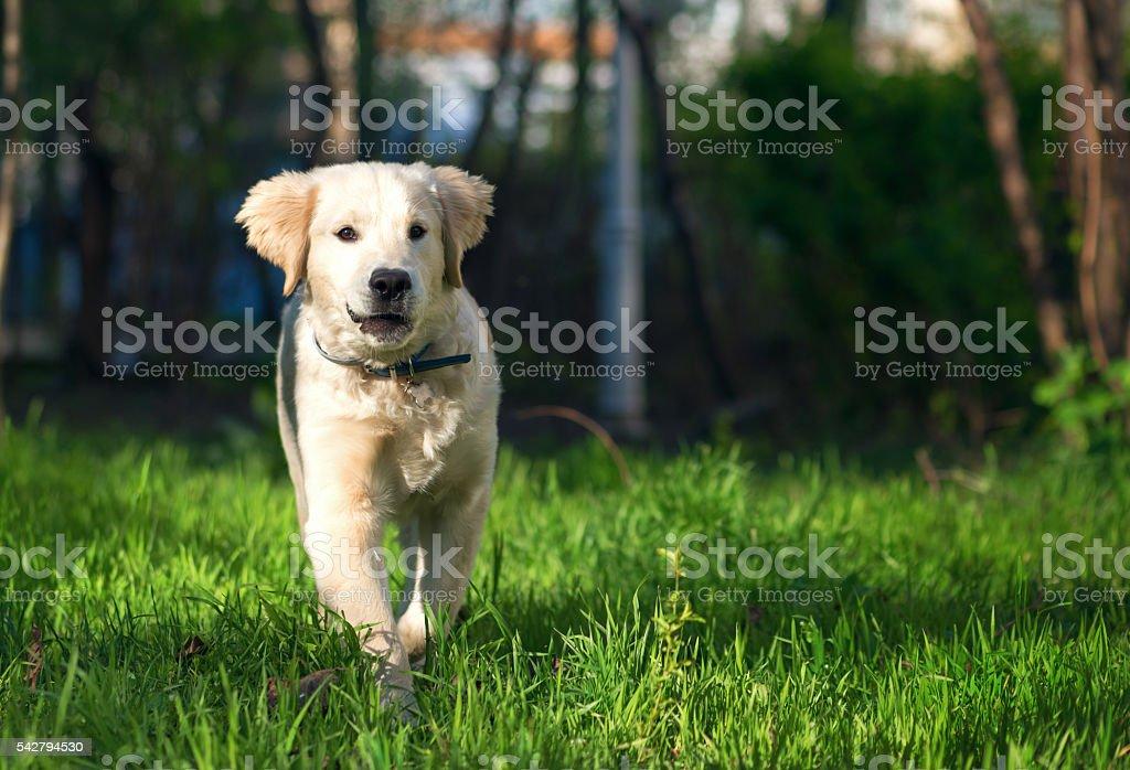 Golden Retriever Puppy Runs Over The Meadow Stock Photo More