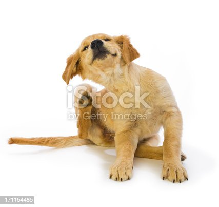 16 week old cute Golden Retriever puppy scratching fleas with hind leg in motion on a white background