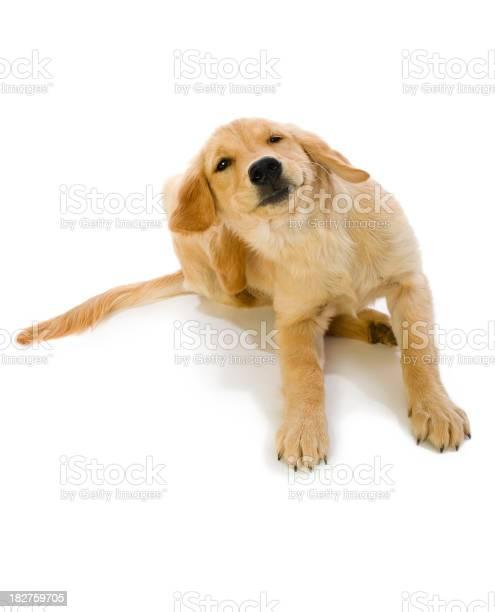 Golden retriever puppy scratching fleas picture id182759705?b=1&k=6&m=182759705&s=612x612&h=kodttd1gcdewh31blvbyeajk6wliasp7l3m8ywq3uuw=