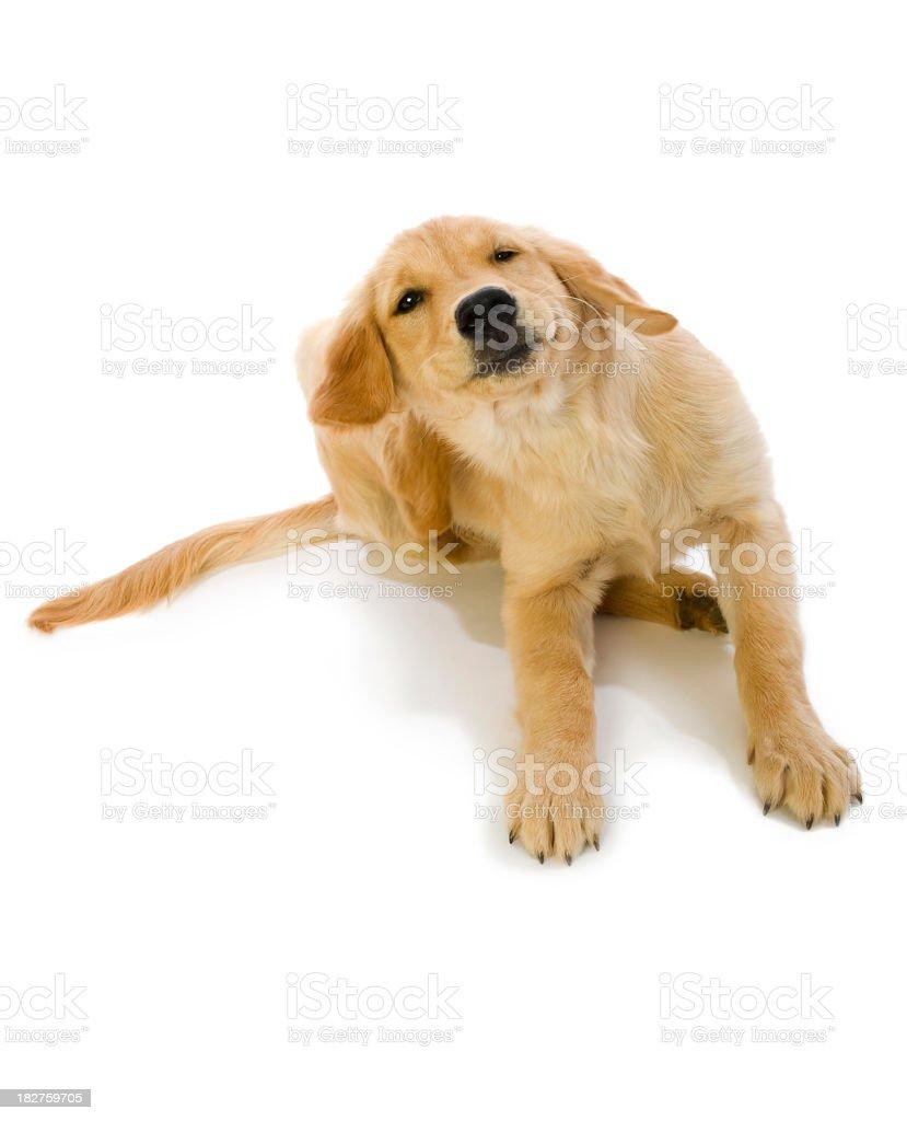 Golden Retriever Puppy scratching fleas stock photo