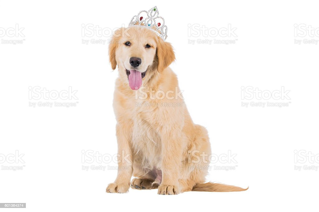Golden retriever puppy sitting with crown looking straight isola – Foto