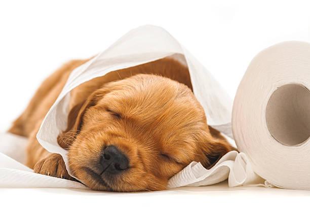 golden retriever welpen schlafen mit roll von toilettenpapier - durchfall beim hund stock-fotos und bilder
