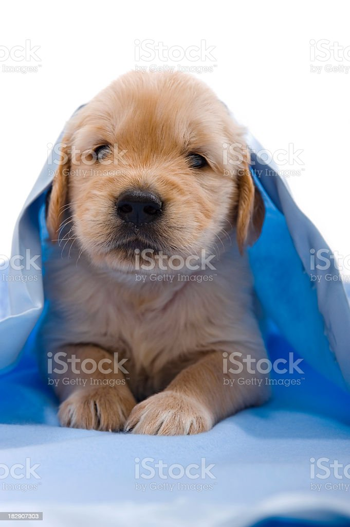 Golden Retriever puppy under blanklet stock photo