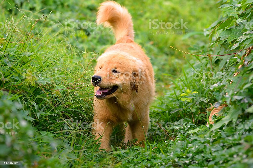 Golden Retriever Puppy walking outdoor on the grass stock photo