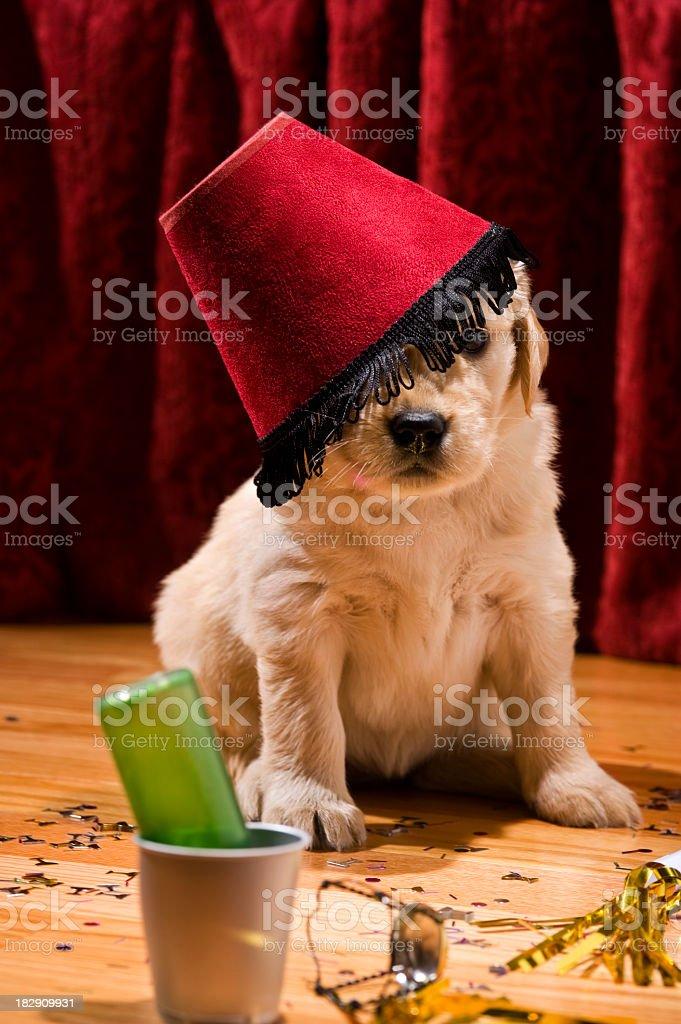 Golden Retriever puppy wearing a lamp shade stock photo