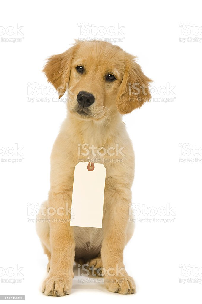 Golden Retriever Puppy Wearing A Price Tag Stock Photo More