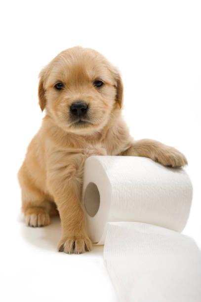golden retriever welpe mit roll von toilettenpapier - durchfall beim hund stock-fotos und bilder
