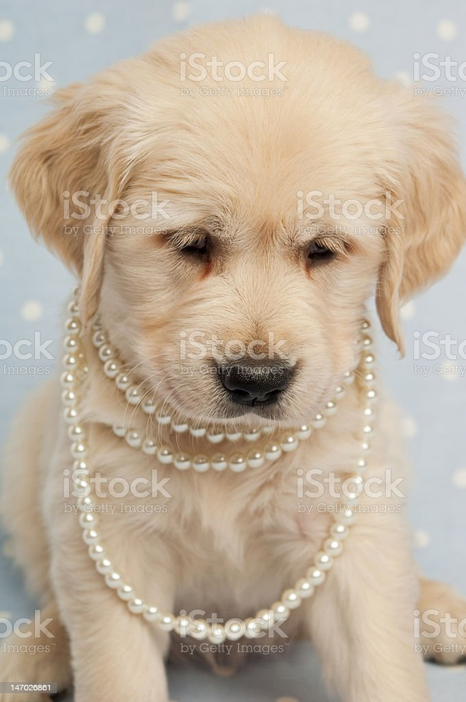Golden Retriever Puppy with pearls around its neck royalty-free stock photo