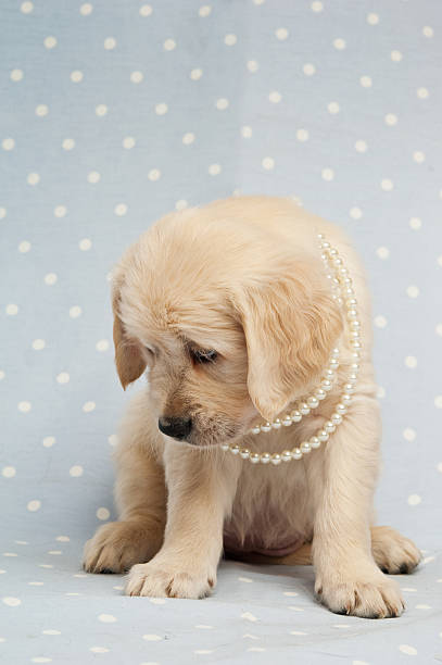 Golden Retriever Puppy with pearls around its neck stock photo