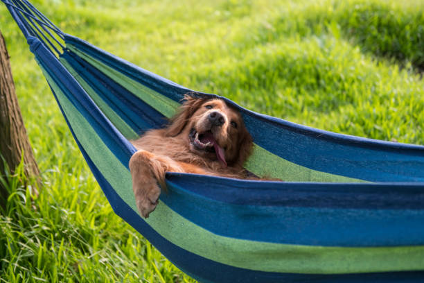 Golden Retriever resting in a hammock – zdjęcie