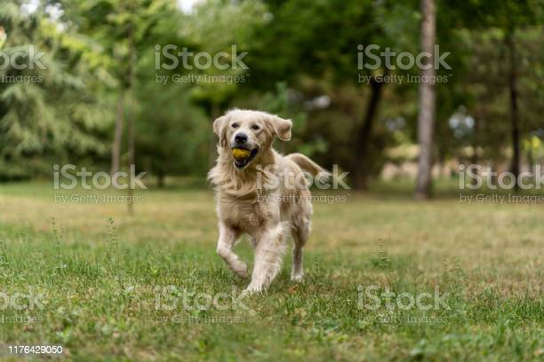 Golden retriever running and playing at park with tennis ball picture id1176429050?b=1&k=6&m=1176429050&s=612x612&h=i12lhimmr pxhp0058lrqfpocrmuahdrjkbxsymbhcg=