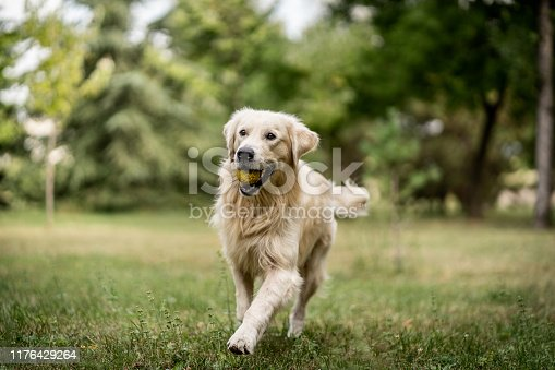Golden retriever running and playing at park with tennis ball