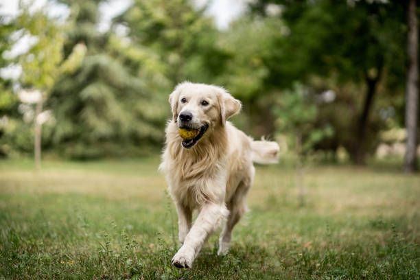 golden retriever running and playing at park with tennis ball - golden retriever foto e immagini stock