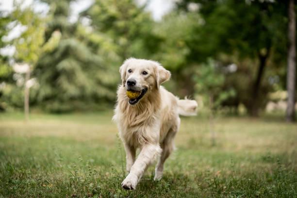 Golden Retriever läuft und spielt im Park mit Tennisball – Foto
