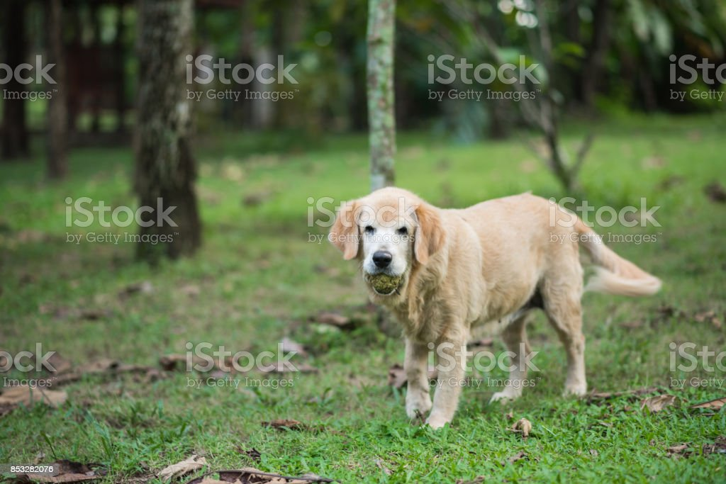 Golden Retriever running in a field with a ball stock photo