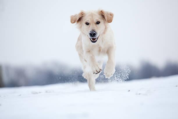 Golden retriever running in snow picture id160624454?b=1&k=6&m=160624454&s=612x612&w=0&h=iw7kcusyd8lkyadlvu8oaekfsmifp8rrzssaa5k8oue=