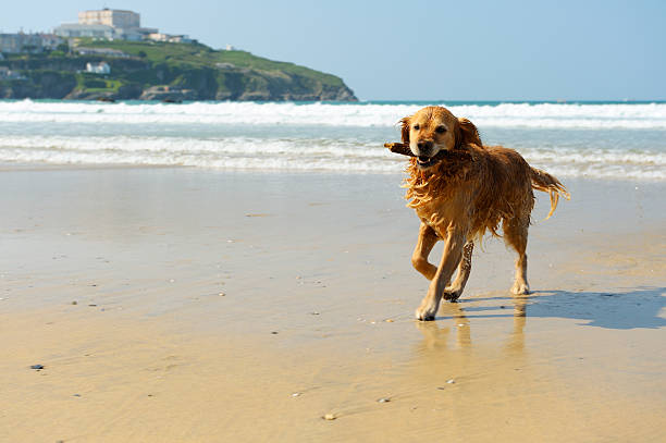 Golden retriever running on the beach picture id155428346?b=1&k=6&m=155428346&s=612x612&w=0&h= otjwt 58halvqjviy gx3u2dey0sl8clw6rgis7x68=