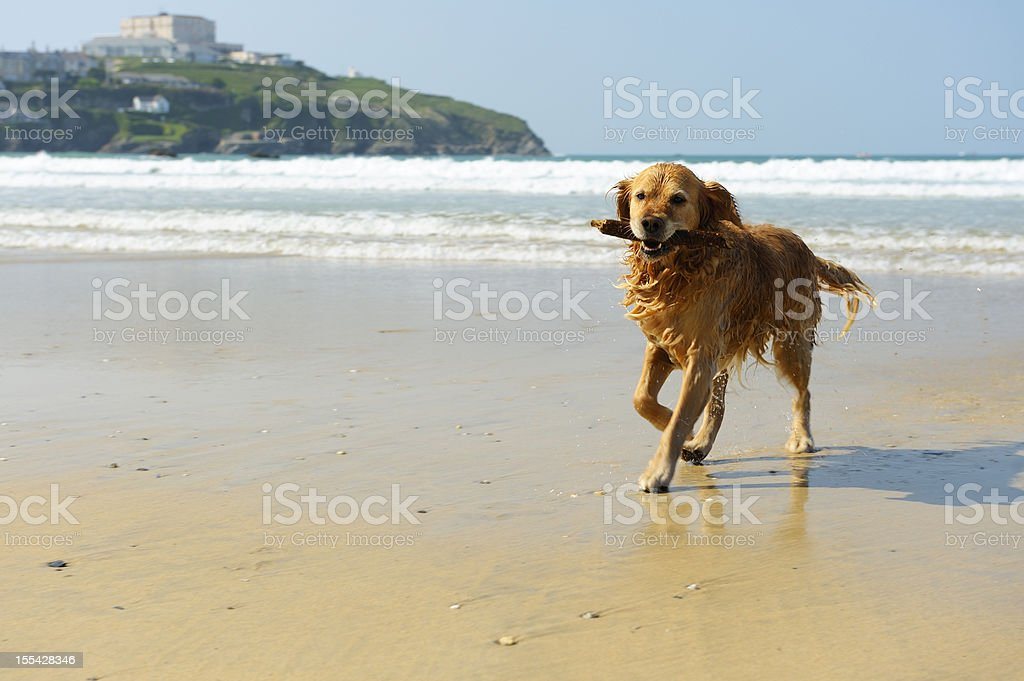Golden Retriever Running on the Beach stock photo