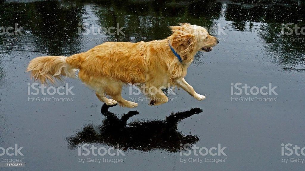 Golden Retriever running royalty-free stock photo