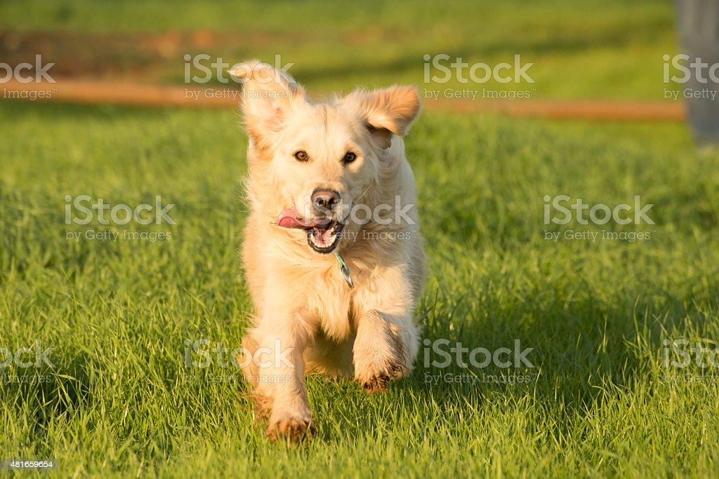 Golden Retriever Running stock photo
