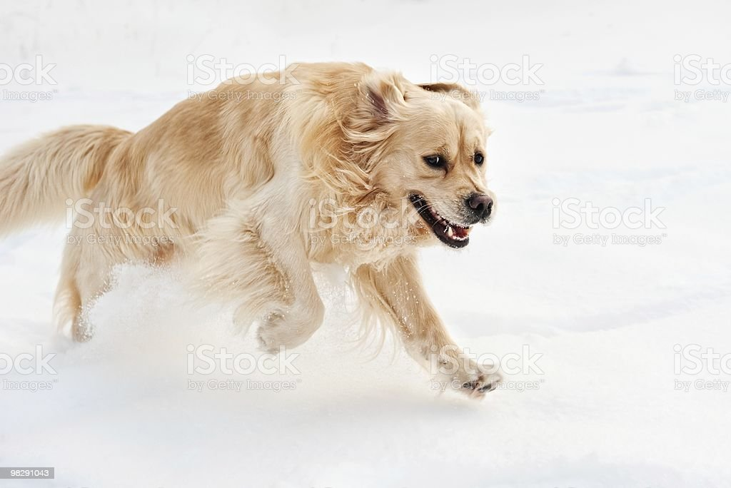 Golden retriever running royalty-free stock photo
