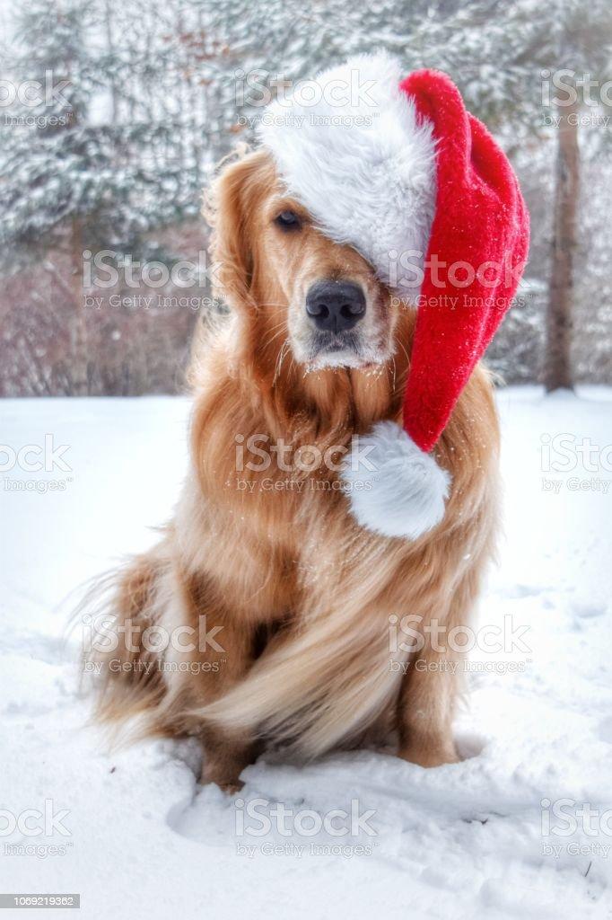 Golden Retriever Santa Claus in Snow stock photo