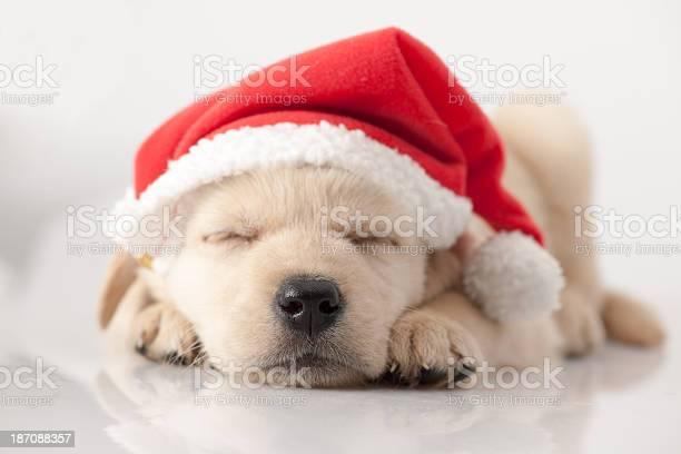 Golden retriever santa puppy picture id187088357?b=1&k=6&m=187088357&s=612x612&h=s06cb1jcdhsq51kc90hrknscwubwsjpa3dbtuof7njo=