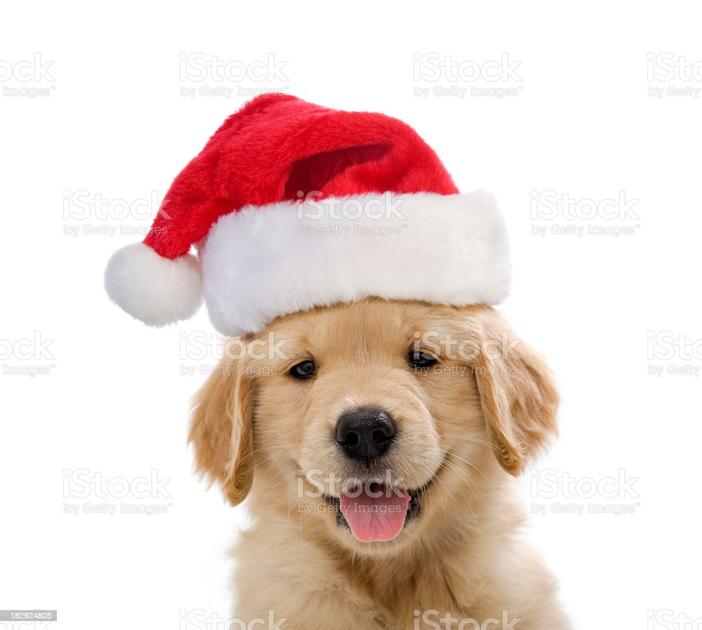 Golden Retriever Santa Puppy smiling A cute happy 7 week old Golden Retriever smiling at the camera wearing a Santa hat with  a white background Animal Stock Photo