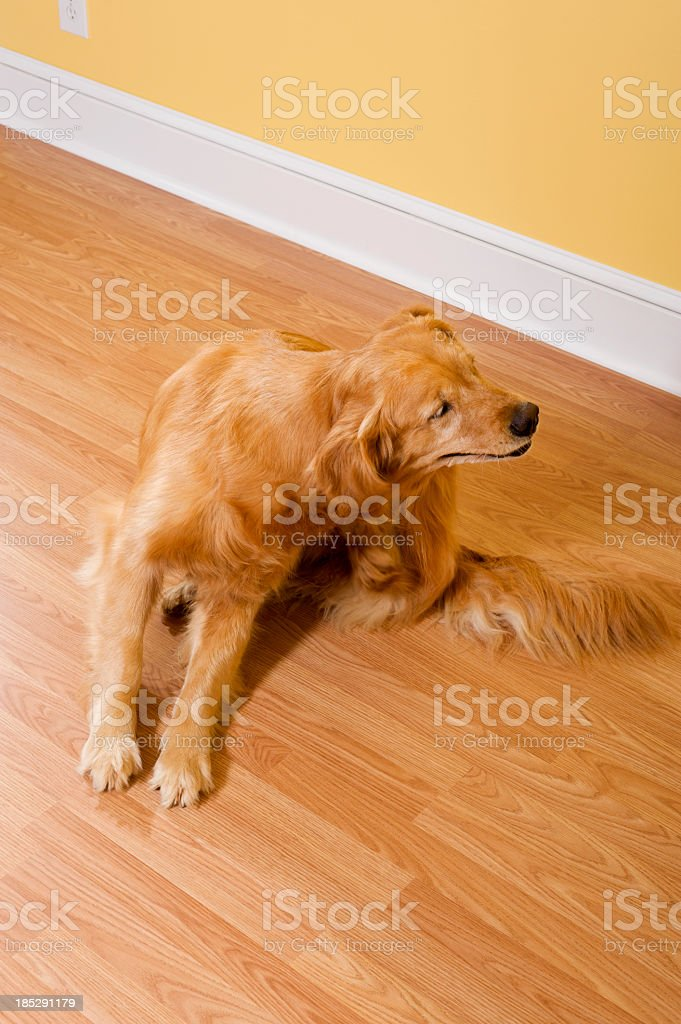 Golden Retriever Scratching stock photo