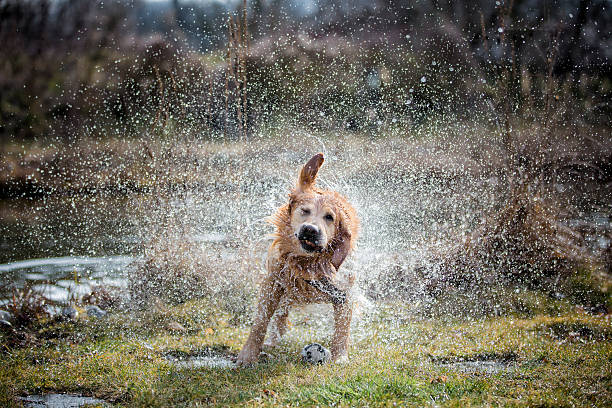 Golden retriever Secouer sur la pelouse au bord de l'eau dans - Photo