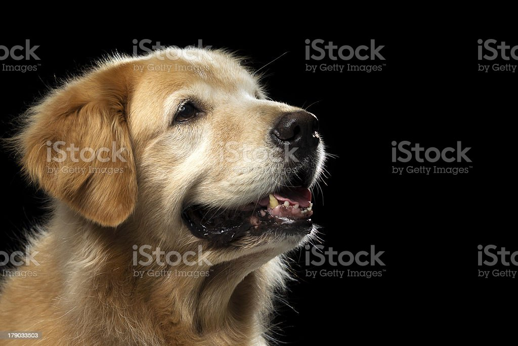 Golden Retriever - Side Profile royalty-free stock photo