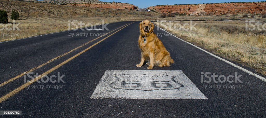 Golden Retriever Sits by Route 66 Emblem on Road stock photo