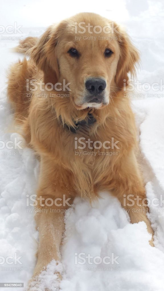 Golden Retriever Sits Patiently in the Snow stock photo