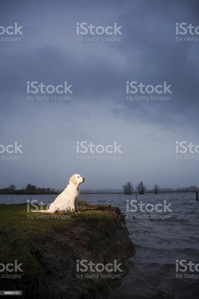 Golden Retriever sitting at water's edge royalty-free stock photo