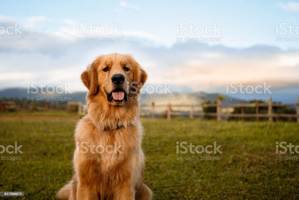Golden retriever sitting down in a farm stock photo