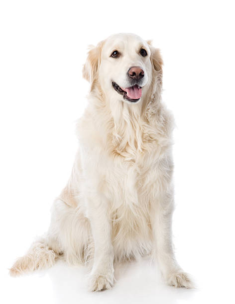 Golden retriever sitting in front isolated on white background picture id520416186?b=1&k=6&m=520416186&s=612x612&w=0&h=sdwthgprq24rvw1dyzq5swpxlus5awyz gugoa 4 h8=