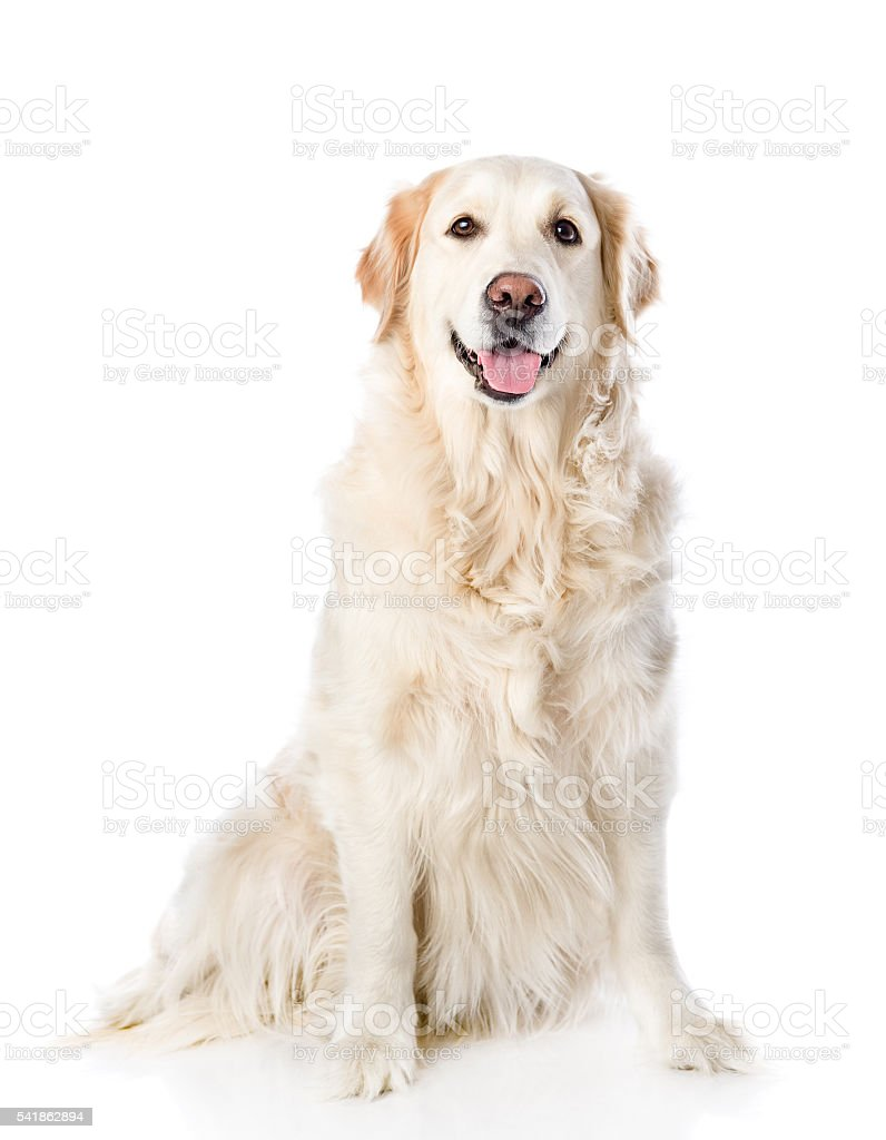 Golden Retriever sitting in front. isolated on white background stock photo