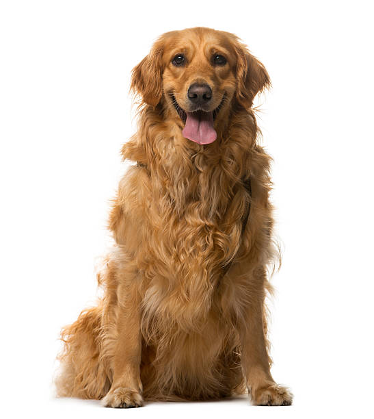 Golden retriever sitting in front of a white background picture id508852610?b=1&k=6&m=508852610&s=612x612&w=0&h=h6 naludool0tmwlhjurl naati7bfuab0lww qdsm8=