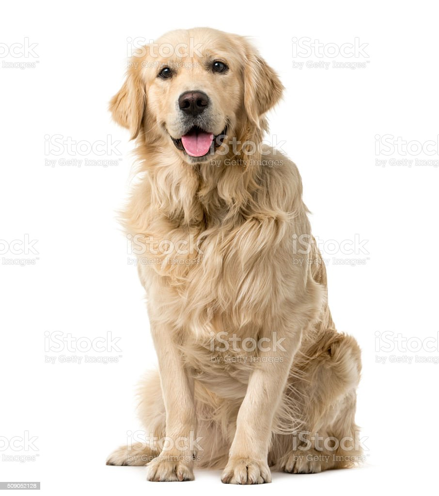 Golden Retriever sitting in front of a white background stock photo