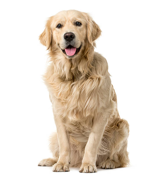 Golden Retriever sitting in front of a white background Golden Retriever sitting in front of a white background retriever stock pictures, royalty-free photos & images