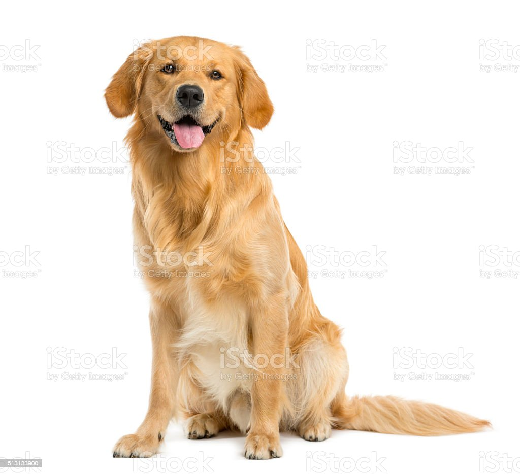 Golden retriever sitting in front of a white background for Puppy dog sitter