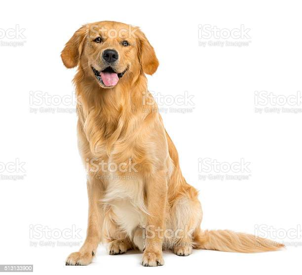 Golden retriever sitting in front of a white background picture id513133900?b=1&k=6&m=513133900&s=612x612&h=rcfhgqqwpltfzldknq4w uujtwqpj778n4d0t0lefzs=