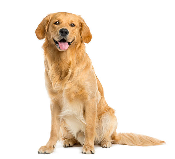 golden retriever sitting in front of a white background - sitting stock pictures, royalty-free photos & images