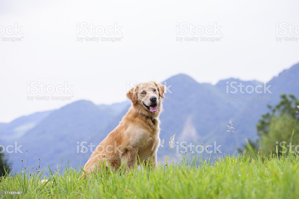 A golden retriever sitting in grass with mountain backdrop stock photo