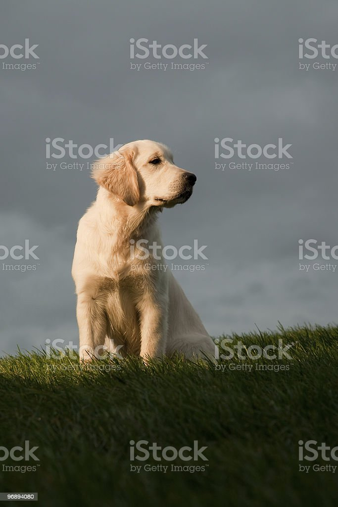 Golden Retriever Sitting on Hill royalty-free stock photo