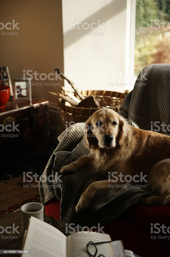 Golden retriever sitting on sofa, looking away royalty free stockfoto